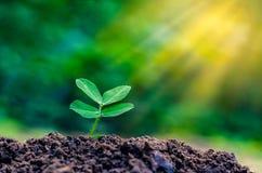 Giornata mondiale dell'ambiente che pianta la luce della plantula delle piantine di mattina sul fondo della natura Fotografie Stock