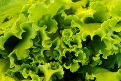 Giorni dell'insalata Fotografia Stock