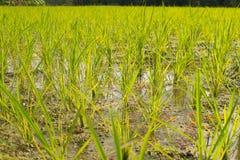Giorni di risaie dopo la piantatura fotografia stock libera da diritti