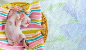3 giorni vecchio Kitty in un canestro Fotografie Stock