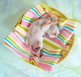 3 giorni vecchio Kitty in un canestro Immagine Stock