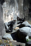Giorno approssimativo per questa gorilla fotografia stock libera da diritti