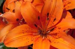 Giorno arancione lilly Fotografia Stock Libera da Diritti