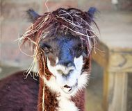 Giorno dei capelli di Baid! Immagine Stock Libera da Diritti