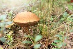 Giorno del fungo Fotografie Stock