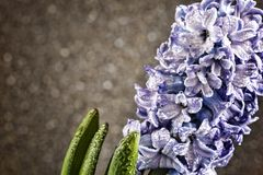 Giorno del ` s delle donne, l'8 marzo, giacinto, gocce di rugiada, fondo grigio, c Fotografia Stock