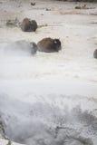 Giorno della stazione termale del bisonte Immagine Stock
