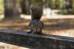 Giorno di autunno dello scoiattolo nei parchi nazionali degli Stati Uniti Immagini Stock
