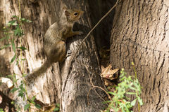 Giorno di autunno dello scoiattolo nei parchi nazionali degli Stati Uniti Fotografie Stock