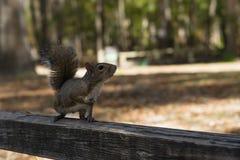 Giorno di autunno dello scoiattolo nei parchi nazionali degli Stati Uniti Fotografia Stock Libera da Diritti