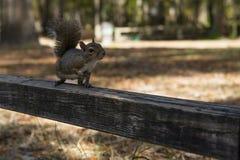 Giorno di autunno dello scoiattolo nei parchi nazionali degli Stati Uniti Fotografia Stock