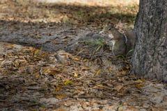 Giorno di autunno dello scoiattolo nei parchi nazionali degli Stati Uniti Immagini Stock Libere da Diritti