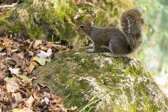 Giorno di autunno dello scoiattolo nei parchi nazionali degli Stati Uniti Immagine Stock Libera da Diritti