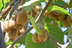 Giorno di estate sano fresco del kiwi della frutta Fotografie Stock
