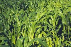 Giorno di estate soleggiato del campo di grano nel campo Fuoco su priorità alta Foglie succose verdi di giovane cereale agricolo Immagine Stock Libera da Diritti