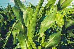 Giorno di estate soleggiato del campo di grano nel campo Fuoco su priorità alta Foglie succose verdi di giovane cereale agricolo Fotografia Stock