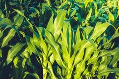 Giorno di estate soleggiato del campo di grano nel campo Fuoco su priorità alta Foglie succose verdi di giovane cereale agricolo Immagini Stock