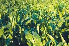 Giorno di estate soleggiato del campo di grano nel campo Fuoco su priorità alta Foglie succose verdi di giovane cereale agricolo Fotografia Stock Libera da Diritti