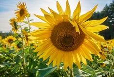 Giorno di estate soleggiato su un giacimento del girasole Sun che splende dietro un grande girasole giallo Fotografia Stock