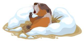 Giorno di Groundhog La marmotta ha scalato dal foro e dagli sbadigli Immagine Stock Libera da Diritti