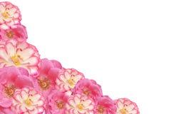 Giorno di madri di rosa dei biglietti di S. Valentino del blocco per grafici del fiore di colore rosa Immagine Stock