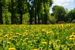 Giorno di molla soleggiato luminoso e bello paesaggio con i denti di leone sul prato Fotografie Stock