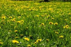 Giorno di molla soleggiato luminoso e bello paesaggio con i denti di leone sul prato Fotografia Stock Libera da Diritti