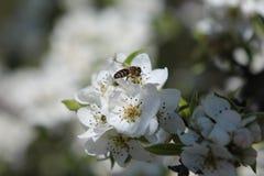 Giorno di primavera, alberi di fioritura, prima fioritura dei fiori immagini stock libere da diritti