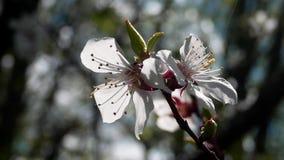 Giorno di primavera a Kharkov Cherry Blossoms Ondeggiamento dei fiori nel vento stock footage