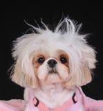 Giorno difettoso dei capelli del cane di Shih Tzu Fotografie Stock Libere da Diritti