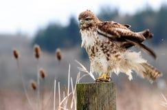Giorno difettoso dei capelli del falco Fotografia Stock Libera da Diritti