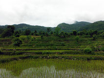 Giorno himalayano di Paddy Fields During Overcast Monsoon del riso Immagine Stock