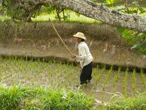 Giorno nel giacimento del riso Fotografia Stock Libera da Diritti
