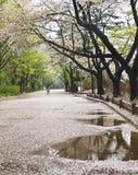 Giorno piovoso nel parco di fioritura di primavera a Seoul fotografia stock