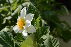 Giorno soleggiato del fiore bianco della begonia Immagine Stock