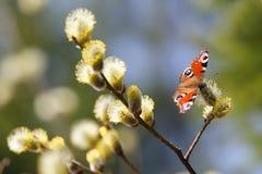 Giorno soleggiato della molla di nymphalidae dell'Pavone-occhio della farfalla su volontà Fotografie Stock Libere da Diritti