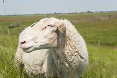 Giorno soleggiato delle pecore del ritratto in prato Fotografia Stock Libera da Diritti