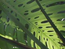 Giorno soleggiato di struttura gigante della foglia immagini stock