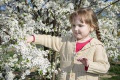 Giorno soleggiato luminoso della primavera nel frutteto di ciliegia sbocciante un piccolo gi Immagini Stock