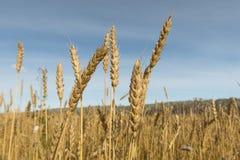 Giorno soleggiato luminoso di autunno del grano Fotografia Stock