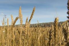Giorno soleggiato luminoso di autunno del grano Fotografie Stock