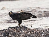 Giovane accipitriformes nero sulla spiaggia di Yucatan, Messico immagine stock libera da diritti
