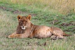 Giovane adagiarsi del leone fotografia stock