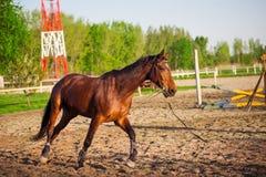Giovane addestramento arabo del cavallo all'azienda agricola Fotografia Stock Libera da Diritti