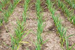 Giovane aglio verde che cresce nel giardino File del raccolto della primavera i Fotografia Stock Libera da Diritti