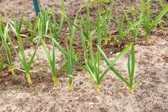 Giovane aglio verde che cresce nel giardino File del raccolto della primavera i Fotografia Stock