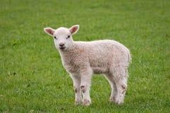 Giovane agnello Immagini Stock Libere da Diritti