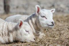 Giovane agnello Fotografie Stock Libere da Diritti