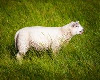 Giovane agnello Immagine Stock