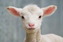 Giovane agnello del bambino Immagini Stock